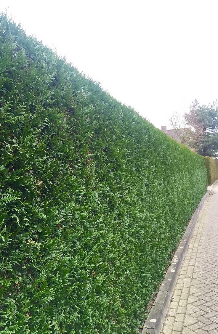 Kæmpethuja (Thuja Plicata ) • Plantinavia Danmark